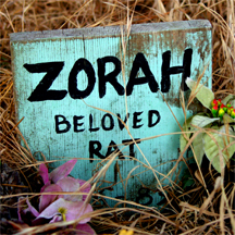 Zorah beloved rat
